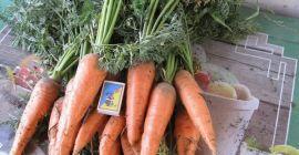 Описание моркови Абако: выращивание и хранение