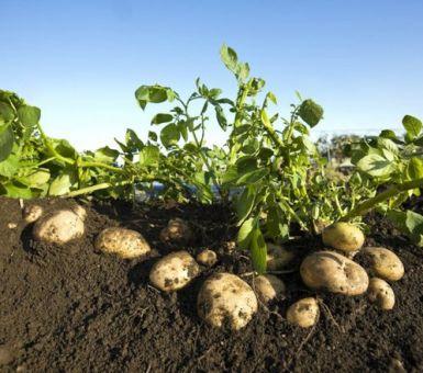 Какая почва нравится картофелю?
