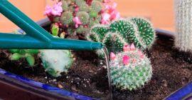 Частота и другие особенности полива кактуса