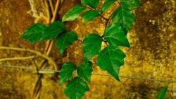 Зеленый красавец циссус: водопад листвы в вашем доме