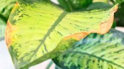 Что делать, если у диффенбахии желтеют и сохнут листья