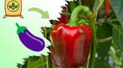 Лучшие удобрения для перцев и баклажанов