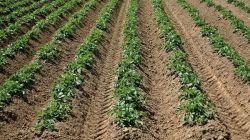 Выращивание картофеля гребневым способом