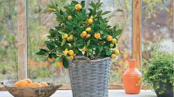 Полезные советы по выращиванию мандарина из косточки в домашних условиях
