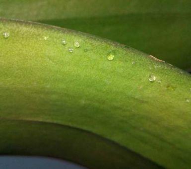 Причины липких капель на листьях орхидеи и способы ее лечения