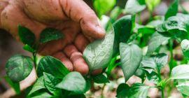 Белеют листья у рассады перцев: причины и способы лечения