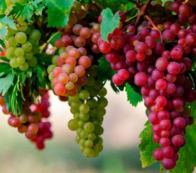 Как выращивать виноград в Беларуси
