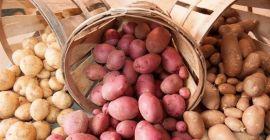 Описание ранних сортов картофеля с фото