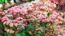 Очиток видный — краса осеннего сада