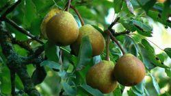 Как правильно обрезать грушу весной и осенью