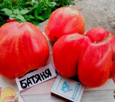 Особенности и техника выращивания томатов сорта Батяня