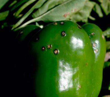 Как уберечь перцы от гниения и почернения в теплице