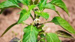 Почему листья перца скручиваются и что нужно делать в этом случае