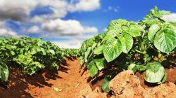Удобрения для подкормки картофеля – виды и сроки внесения