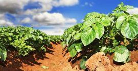 Удобрения для подкормки картофеля осенью и весной