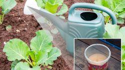 Как подкормить капусту дрожжами