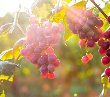 Особенности ухода и характеристики винограда Лидия