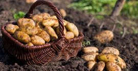 Сроки уборки урожая картофеля