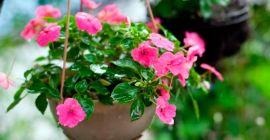 Комнатные растения с розовыми цветами или листьями