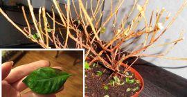 Почему у азалии сохнут и опадают листья