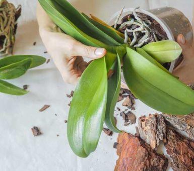 Секреты успешного размножения фаленопсиса