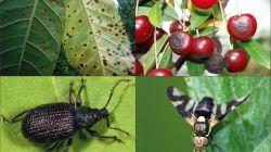 Лечение вишни от болезней и борьба с вредителями