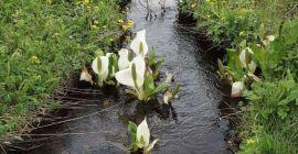 Родина спатиффилума и особенности ухода за комнатным растением