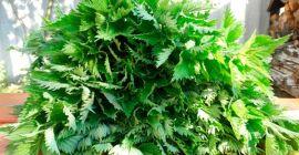 Как приготовить удобрение из крапивы для помидоров и огурцов