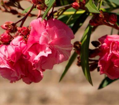 Описание комнатного олеандра и особенности ухода за цветком