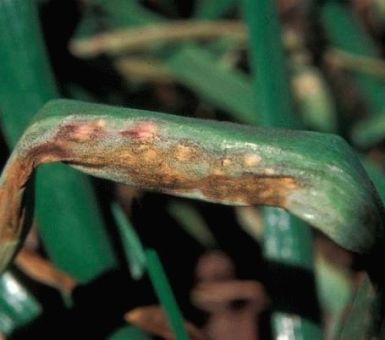 Пероноспороз луковых культур: как вылечить и не допустить