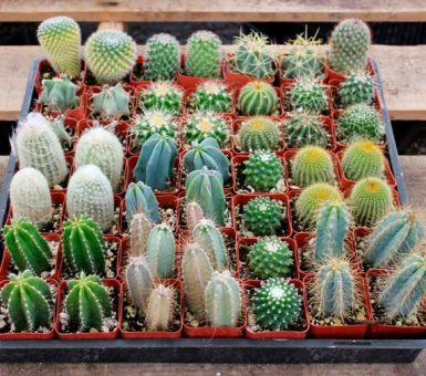 Уход за кактусами микс дома: все правила
