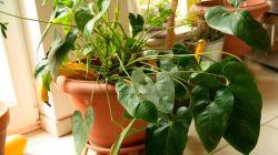 Заставить антуриум цвести: сложно, но возможно