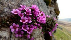 Виды садовой камнеломки и особенности выращивания