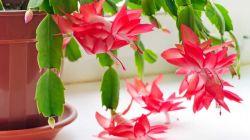 Особенности полива декабриста во время цветения