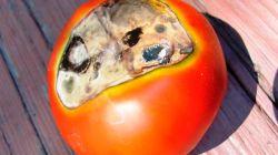Как бороться с вершинной гнилью томатов