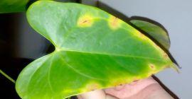 Почему желтеют и сохнут листья у антуриума