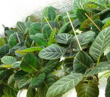 Как вырастить глоксинию из листа в домашних условиях