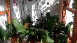 Реанимация орхидеи без корней или листьев