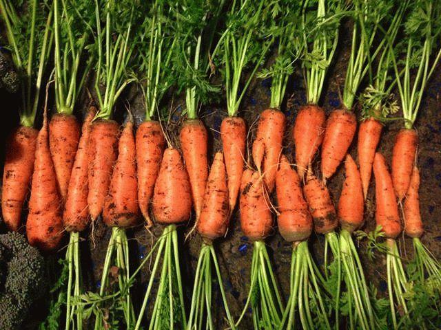 выкопанная морковь с ботвой