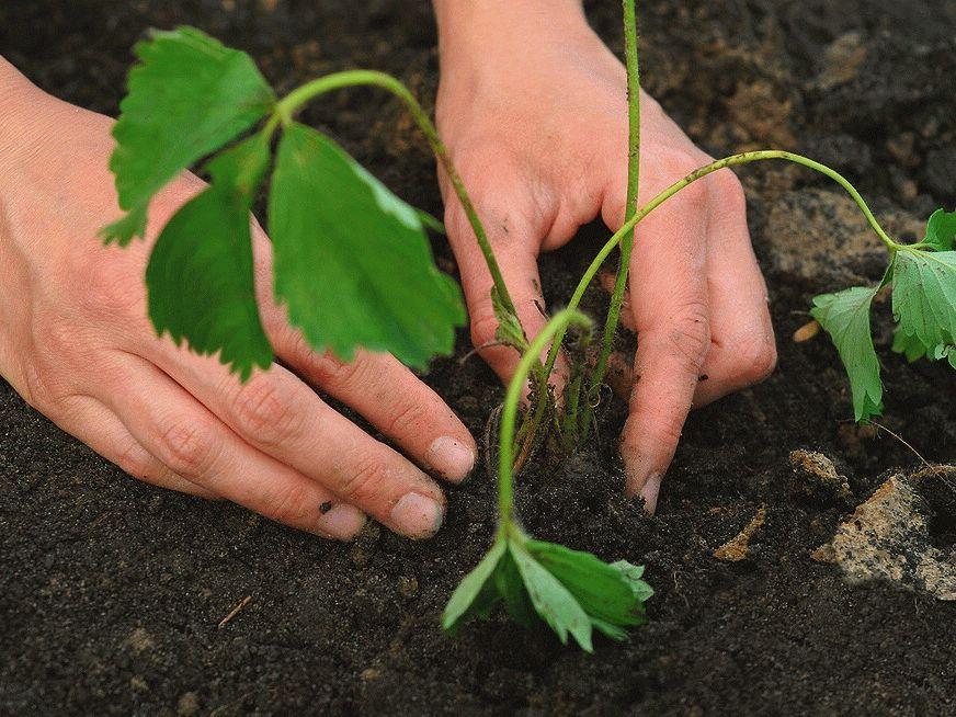 сажают клубнику на огороде