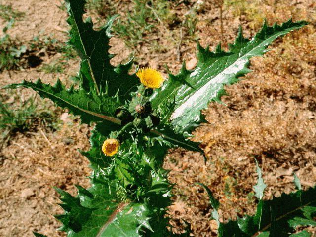 сорняк осот полевой