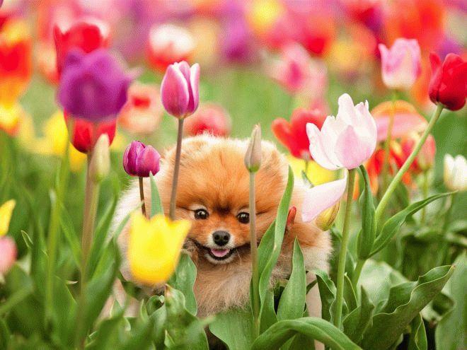 щеночек в тюльпанах