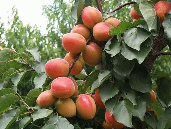 Уход за абрикосом осенью обрезка