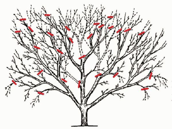 схема осенней обрезки дерева