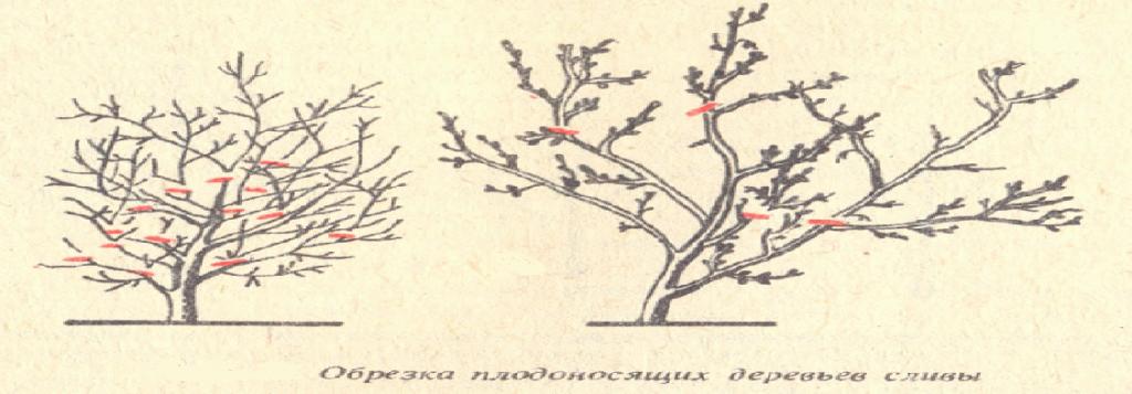 обрезка старого дерева сливы