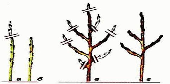 рисунок обрезка колоновидной яблони