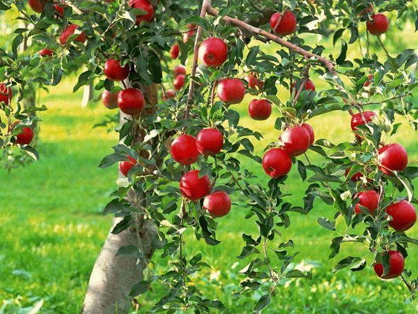 красивая яблоня