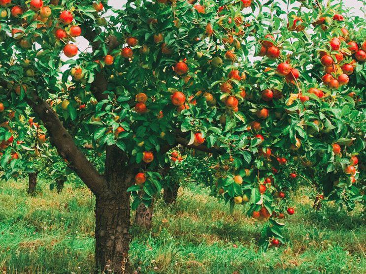 правильно сформированная яблоня
