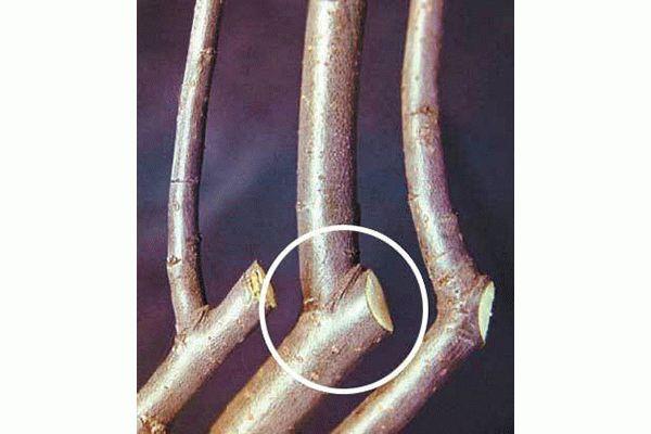 как правильно срезать ветки вишни