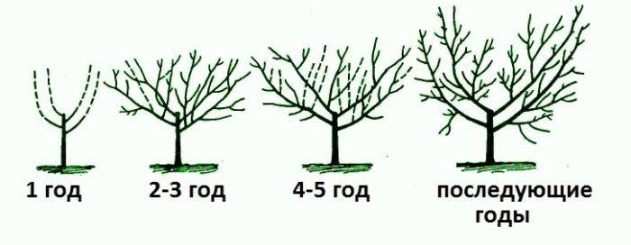 схема формирования куста вишни